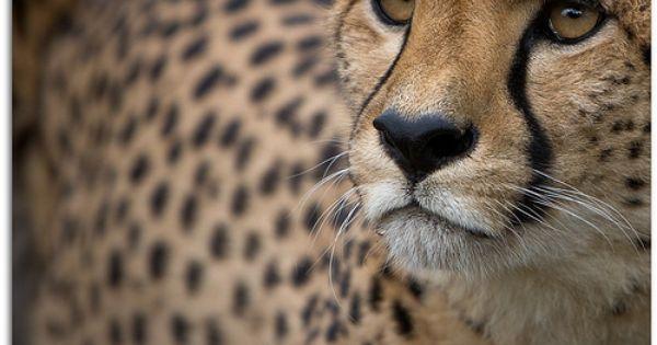 cheetah, an amazing animal