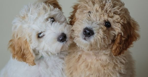 Mini Goldendoodles By Www Beckkennel Com Mini Amp Petite