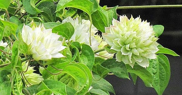 clematis 39 duchess of edinburgh garden botanicals. Black Bedroom Furniture Sets. Home Design Ideas