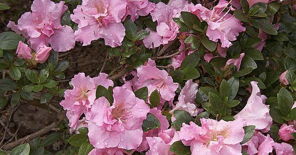 Pin On Azaleias Rododendros