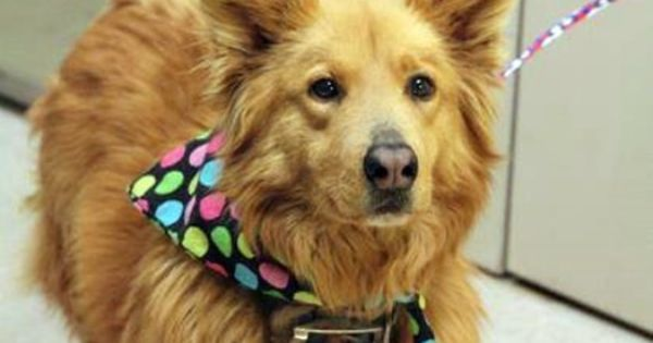 Eizabella Is Available For Adoption Or Rescue At Greenville Sc Shelter Corgi Mix Dog Friends Dog Adoption