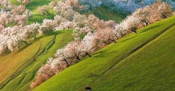 Apricot blossoms in Shinjang, China -- I didn't know apricot trees looked
