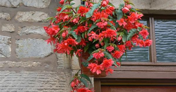 Hanging Basket Flowers Part Shade : Begonia quot pendula red in hanging basket is a