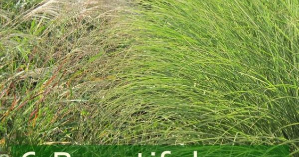 What are the best low maintenance gorgeous grasses here for Best low maintenance grass