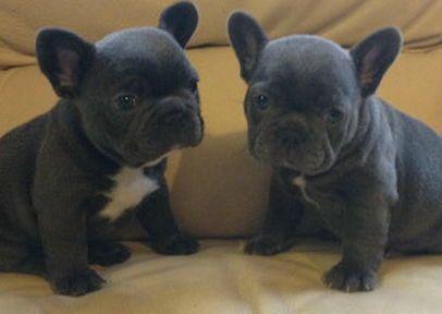 Thebestofbluesuk French Bulldog Puppies French Bulldog Cute