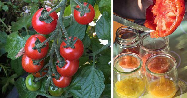 des graines de tomate gratuites pour l an prochain permaculture gardens and small gardens. Black Bedroom Furniture Sets. Home Design Ideas