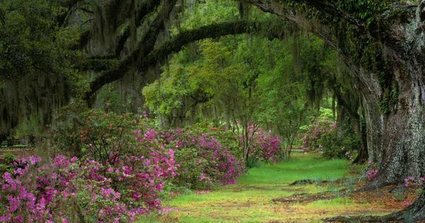 Stately live oaks in magnolia plantation and gardens charleston s c adam jones visuals for Magnolia gardens charleston sc