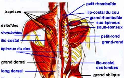 Muscles du tronc et du bassin anatomie et fonctions for Interieur du corps humain image