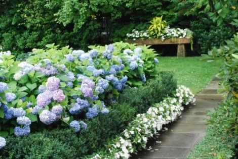 Blue hydrangeas, boxwood, and white impatiens - just like my front yard