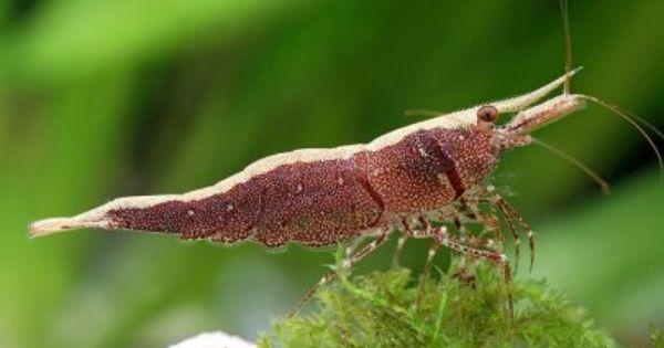 Cardina Masapi Sulawesi Shrimp Shrimp Tank Crustaceans Freshwater Fish