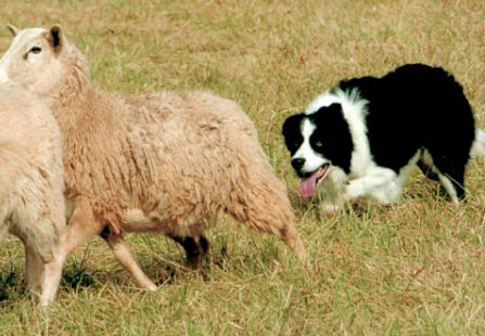 Dawn Boyce S Border Collies Sheep Herding Stock Dog Training And