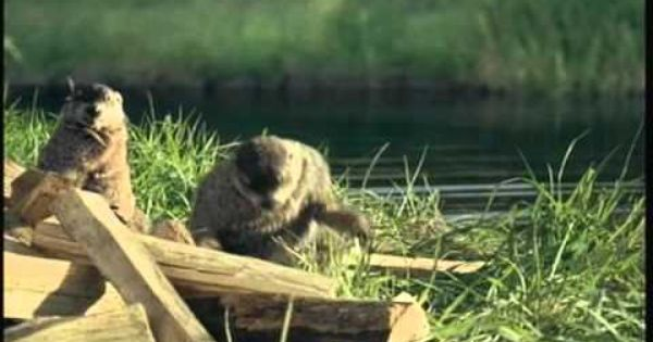 Geico Woodchuck Commercial Really Funny Wood Chucks Chucking