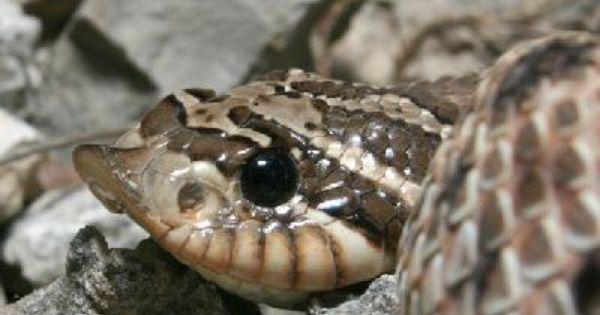 Mexican Hog Nosed Snake Heterodon Nasicus Kennerlyi Cute Little Beady Eyes Hognose Snake Snake Cute Animals