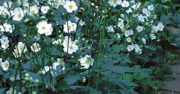 Fall Blooming Anemones Tolerate Shade Divide And Plant