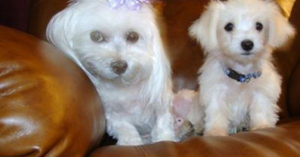 Sugar And Spike I Have A 10 Year Old Maltese Named Sugar She Was