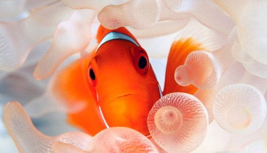 #ShareIG One cool nemo. A spine cheeked clownfish stands out against the