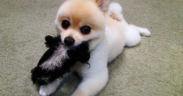 Baby pomeranian, Pomeranians and Babies on Pinterest