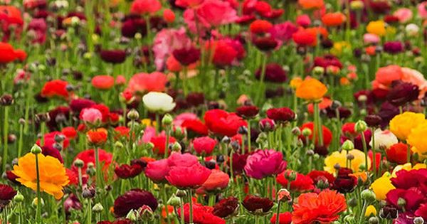 cant wait to plant poppies for my mamal when we move.. it