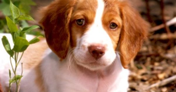 Dog Lovers What Is Your Favorite Breed Brittany Dog Brittany Spaniel Dogs Brittany Spaniel Puppies