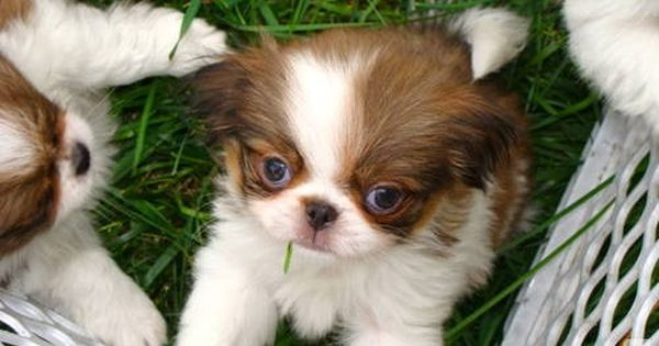 Akc Japanese Chin Puppies Japanese Chin Puppies Japanese Chin