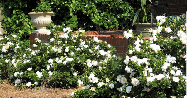 Gardenias Trailing ... Not Suppose To Grow Over 18 In. But
