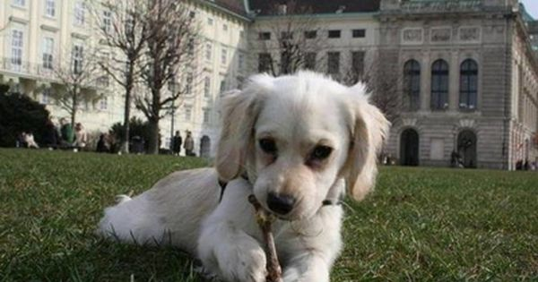 Chi Spaniel Cocker Spaniel Chihuahua Mix Types Of Dogs Dogs Dog Accessories