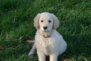 Golden Retriever And Labrador Retrievers Cross Victoria S Pups At