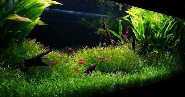 Online Store Of Carpet Aquarium Plants Lilaeopsis Micro Sword Aquarium Plants Aquarium Grass Freshwater Aquarium Planted Aquarium