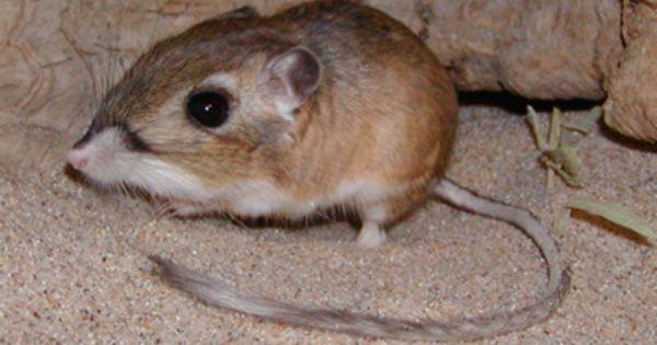 Kangaroo Rat Kangaroo Rat Animals Wild Pet Birds