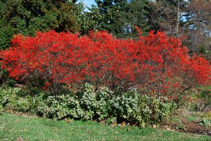 Winterberry A Holly For All Seasons Native Plants Autumn