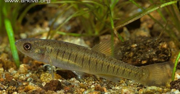 Banded killifish Killifish/pupfish/lampeyes Pinterest