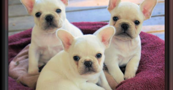French Bulldog Puppies For Sale Minnesota Breeder Frenchie Puppy Bulldog Puppies French Bulldog Puppies