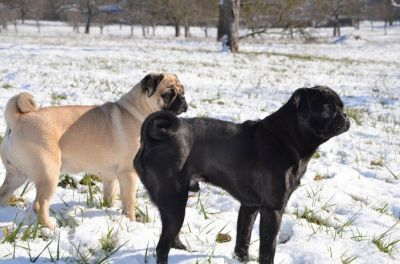 Altdeutsche Mopszucht Bayern Mopswelpen Mops Mops Hund