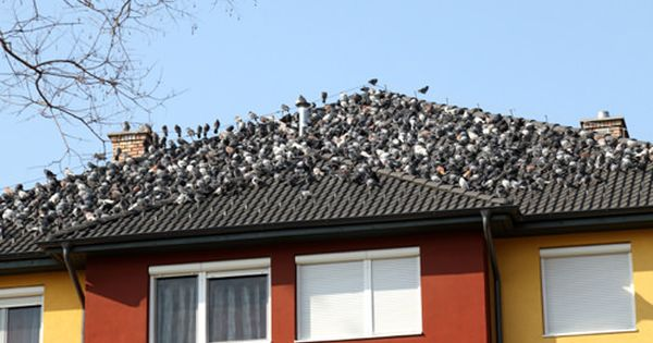 How To Get Rid Of Pigeons Get Rid Of Pigeons Bird Stand Bird Repellents
