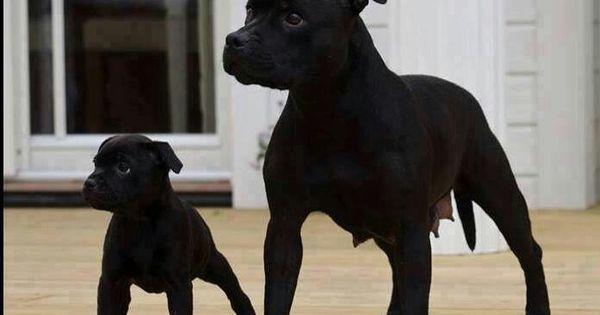 Black Pitbulls | Animals | Pinterest | Pitbull, Pitbulls ...