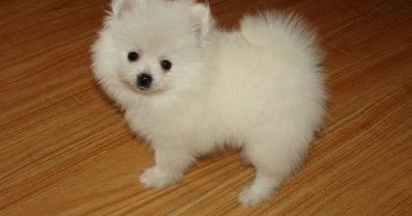 how much does a teacup pomeranian cost teacup pug puppy prices snow white teacup pomeranian 276