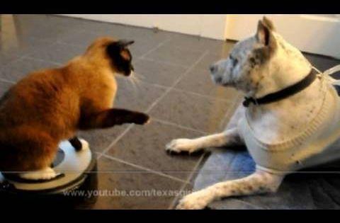 Roomba Cat Swatting Dog Video