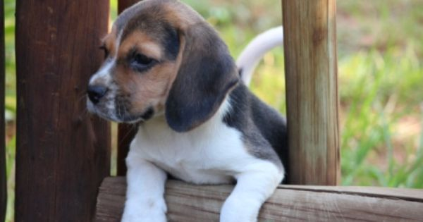 Beagle Puppies For Sale Beagle Puppy Puppies For Sale Puppies