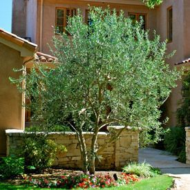 Fruitless Olive Trees Front Yards Yards Landscapes Swan Hills Olive Trees Dwarfs Olive Burc Olive Trees Landscape Front Yard Landscaping Front Yard Plants