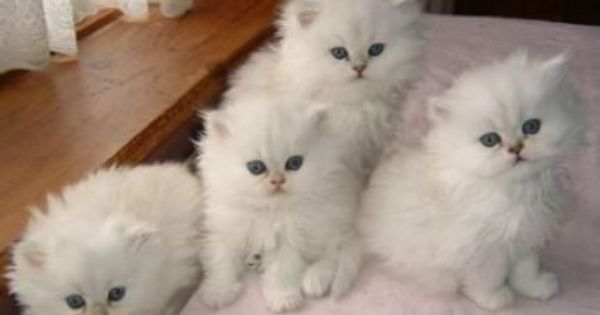 New Zealand Purebred Lilac Lynx Point Ragdoll Kitten For Sale