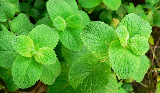 Medicinal Health Benefits of Peppermint Essential Oil