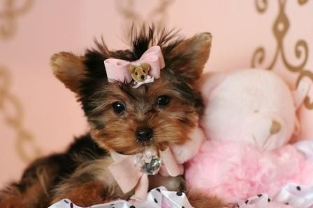 Yorkiessss Teacup Puppies Puppy Store Teacup Yorkie