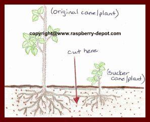 Divide Transplant My Raspberries Raspberry Plants Growing Raspberries Raspberry