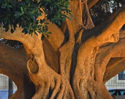 Photo: Old Ficus Tree Trunk Cadiz City Andalusia A topic of conversation