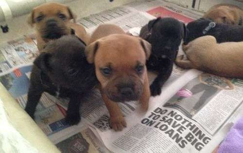 English Staffordshire Bull Terrier We Are A Home Based Registered Kennel Base With Images English Staffordshire Bull Terrier Staffordshire Bull Terrier Puppies Staffordshire Bull Terrier