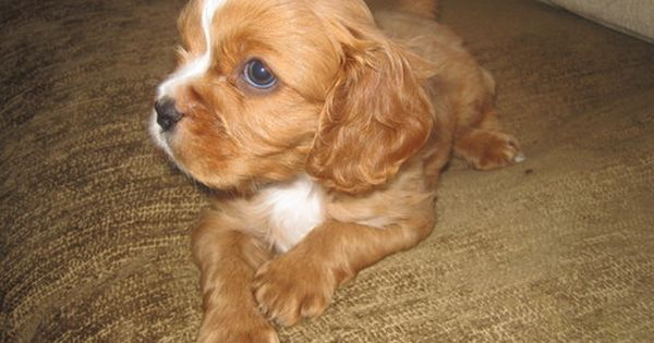 Litter Of 7 Cavalier King Charles Spaniel Puppies For Sale In Dresser Wi Ad King Charles Spaniel Spaniel Puppies For Sale King Charles Cavalier Spaniel Puppy