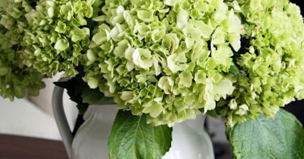 Favorite flower ❤️Limelight hydrangea!