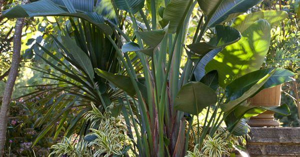 Palma de viajero garden pinterest plantas y jard n for Banano de jardin