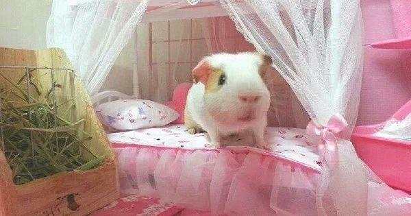 Guinea pig princess cage guinea pig housing ideas for Guinea pig bed pattern