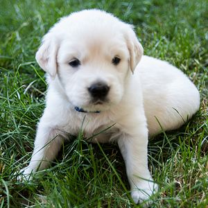 Welcome To Crane Hollow Goldens We Are A Family Breeder That Offers Top Quality Golden Retriever Puppies And Stud Services Througho Puppies Cute Animals Dogs